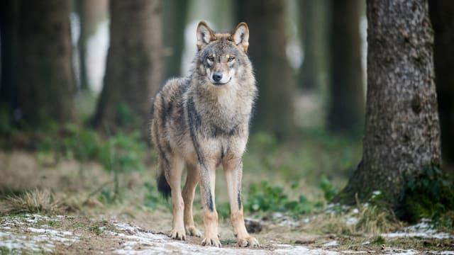 Wolf in einem Gehege des Biotopwildparks Anholter Schweiz in Deutschland.