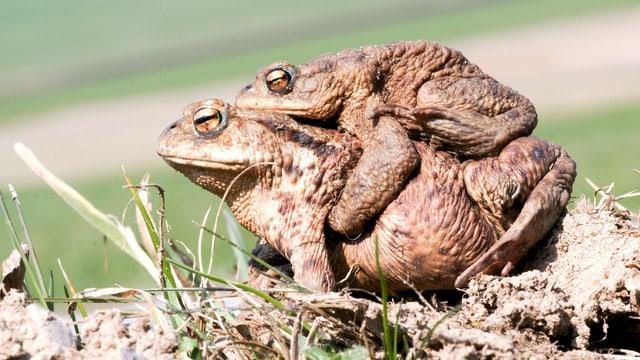 Erdkröten bei der Paarung.