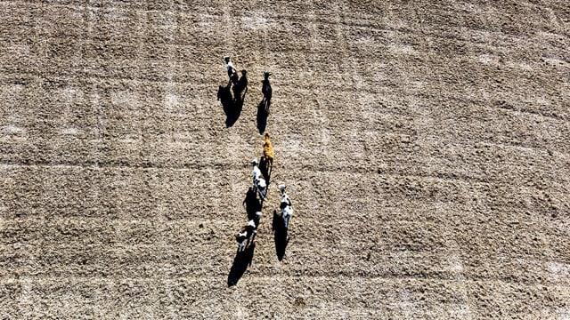 Kühe auf einem ausgetrockneten Feld.