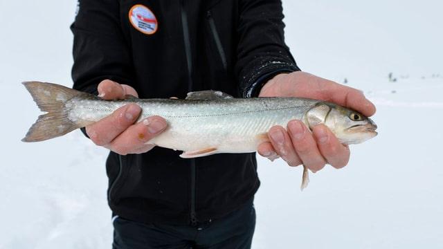 Ein Eisfischer auf dem Melchsee im Kanton Obwalden hält einen frisch gefangenen Fisch in den Händen.