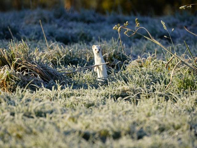Ein Wiesel im Winterkleid auf einer mit Raureif bedeckten Wiese.