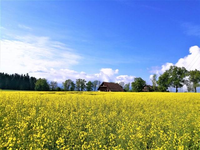 Blick über eine Rapsfeld hinweg.