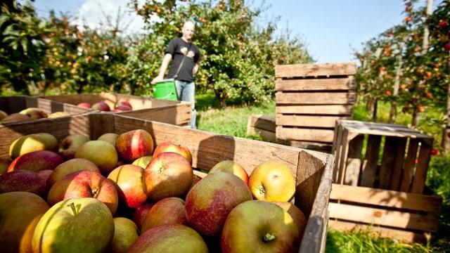 Kisten mit frisch gepflückten Äpfeln inmitten einer Apfelplantage.