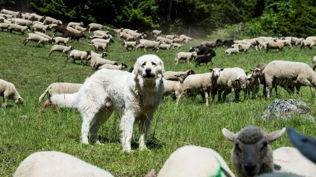 Hund mit Schafherde