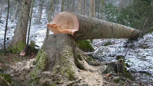 Ein frisch gefällter Baum liegt im Wald.