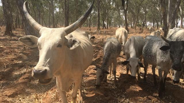 Kühe in Nigeria.