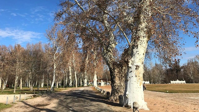 Alte Bäume im Schlossgarten von Aranjuez.