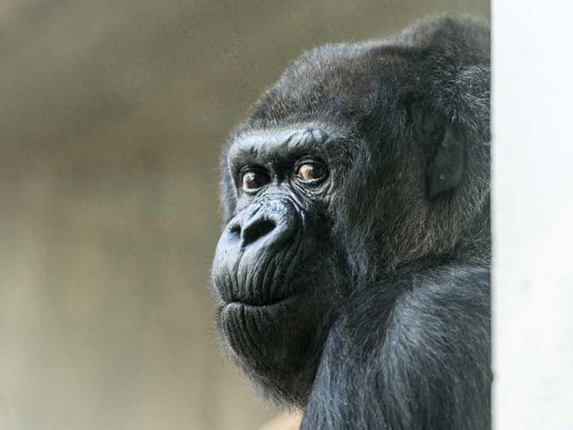 Gorillaweibchen Goma