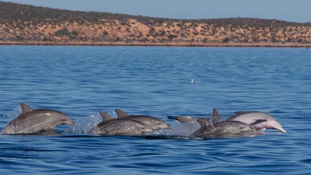 Ein Delfinschwarm springt aus dem Wasser
