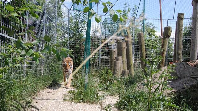 Tiger im Gehege in Subingen.