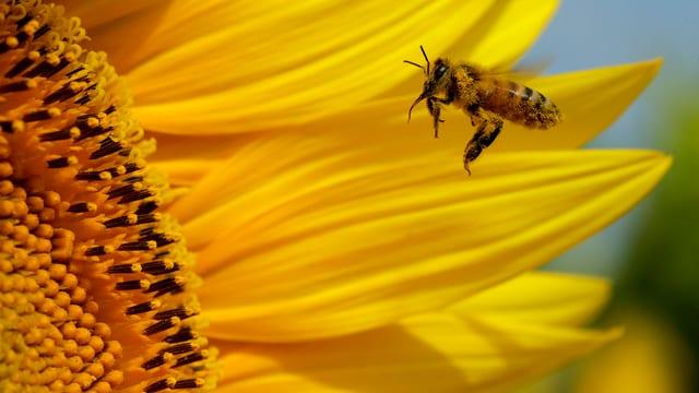 Biene fliegt Sonnenblume an