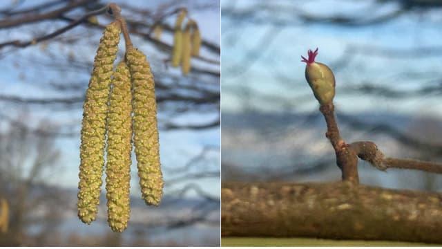 Männliche und weibliche Haselblüten.