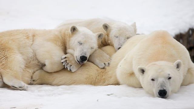 3 Eisbären am pennen