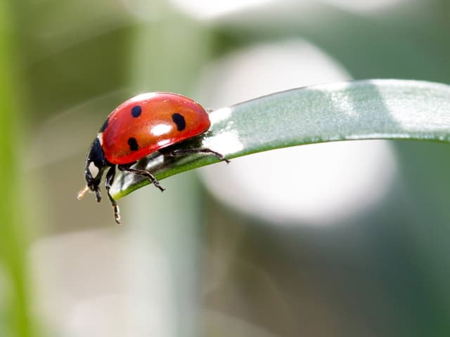 Ein Marienkäfer sitzt auf einem Blattende.