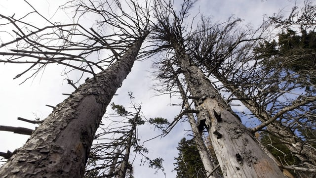 Tote Bäume, die in den Himmel ragen.