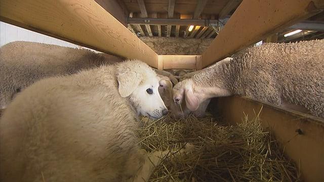 Ein weisser Welpe zwischen weissen Schafen im Stall.