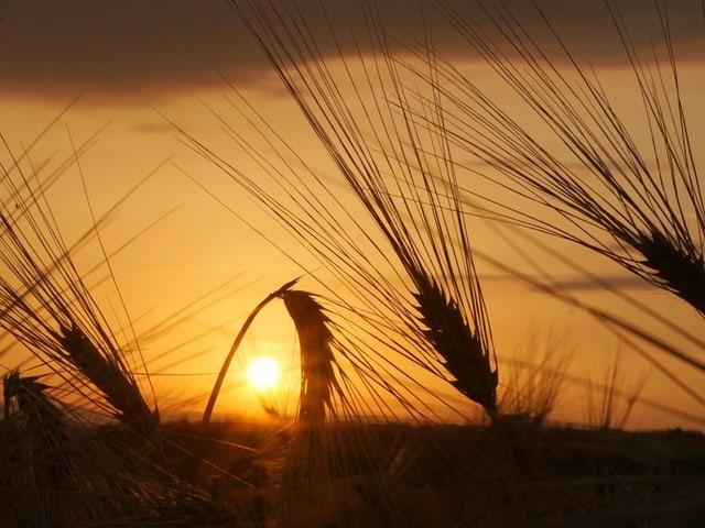 Reife Ähren leuchten golden in der untergehenden Sonne.
