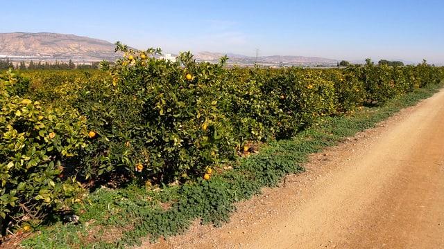 Spaniens «Früchte- und Gemüsegarten» in der Region Murcia. Ein Zitronenhain.