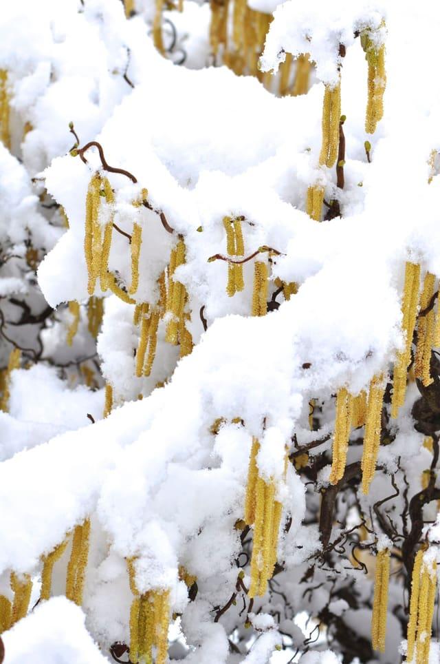 Baum, wahrscheinlich eine Birke, in Blühte und doch schneebedeckt.