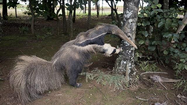 Ein ausgestopfter Ameisenbär stütz sich auf einem Baum auf.