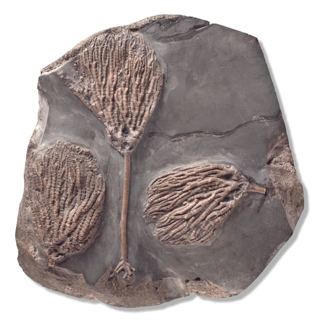 Ein Stein mit fossilen Seelilien, wissenschaftlich Crinoiden