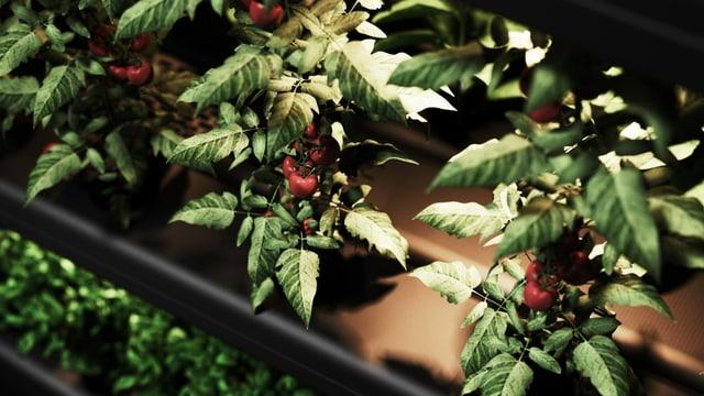 Ein Pflanze mit grossen grünen Blättern und roten Früchten wächst aus Balken heraus.