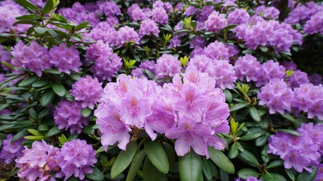 Maletg rododendrons