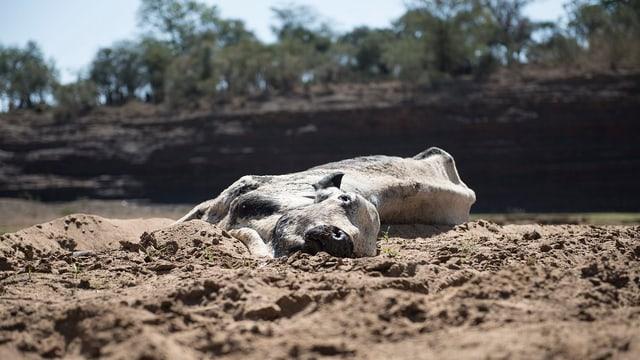 Eine tote Kuh auf sandigem Boden.