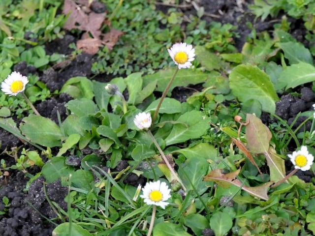 Blühende Gänseblümchen in einer Wiese.
