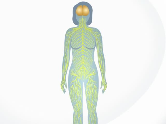 Weicbliche Silhouette mit Hiern und Nervensystem