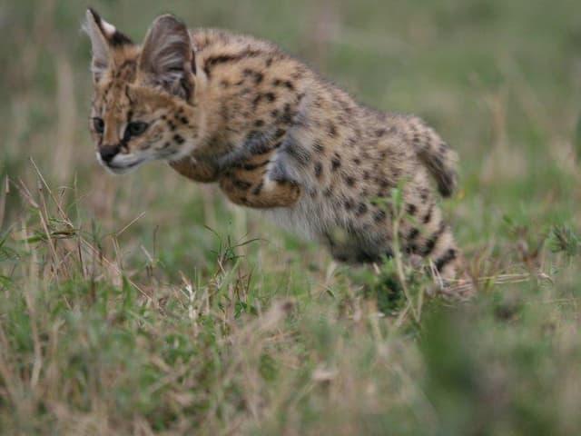 Ein Servalkätzchen springt seinen ersten Jagdversuchen aus dem Gras.
