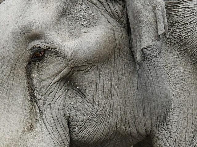 Nahaufnahme Elefantenauge