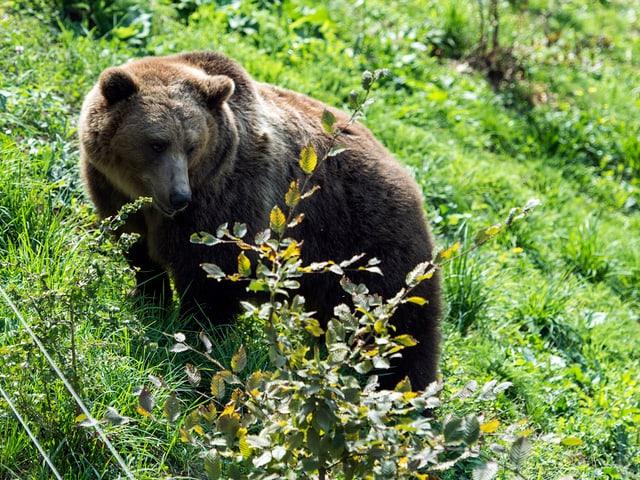 Ein Bär im Gras.