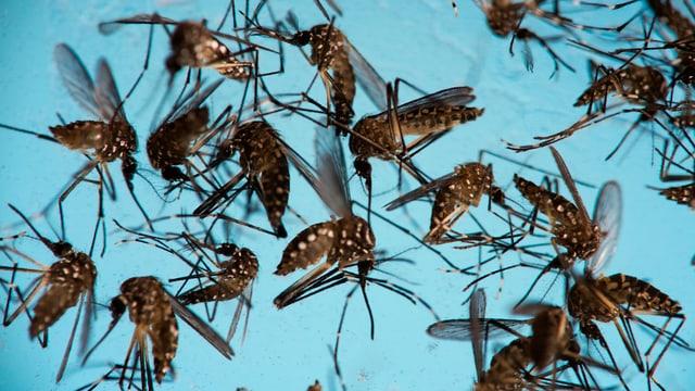 Mücken.