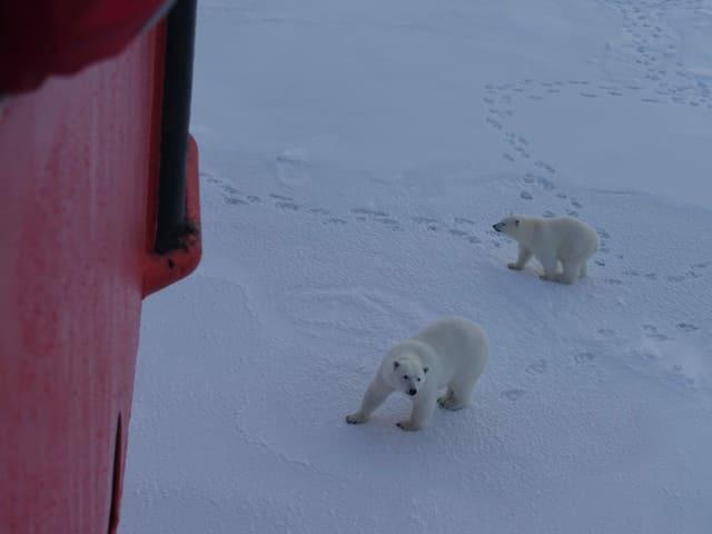 Eisbären am Schiff.