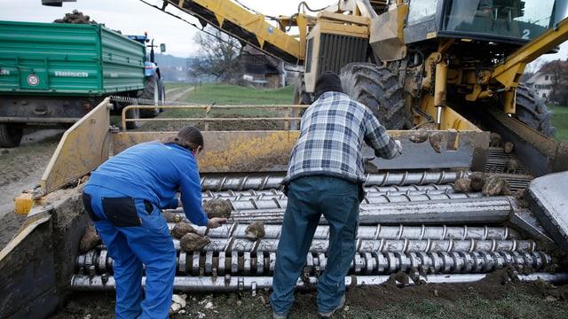 Teuere Maschine im Einsatz: Eine Zuckerrübenmaus bei der Ernte.