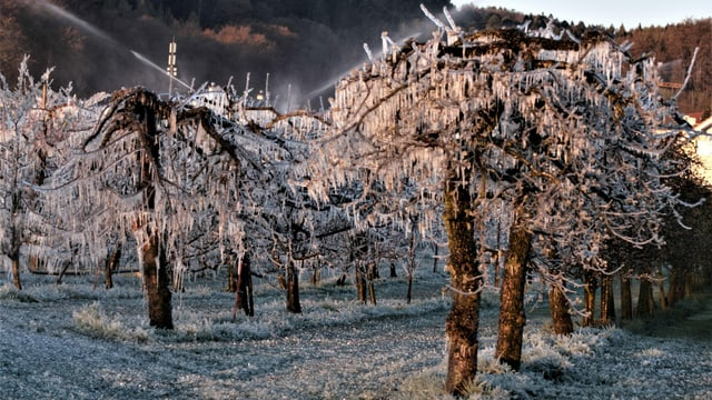 Niederstamm-Bäume mit Eisüberzug. Im Hintergrund Sprinkleranlage.