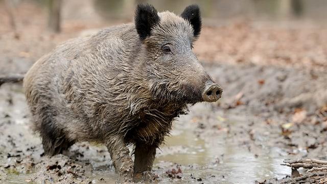 WIldschwein im Schlamm.