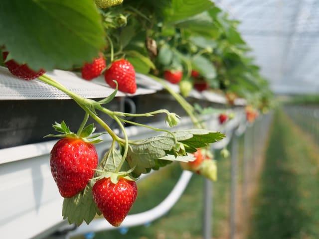 Reife Erdbeere