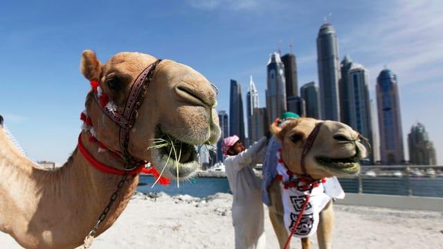 Zwei Kamele am Strand, im Hintergrund die Skyline von Dubai.