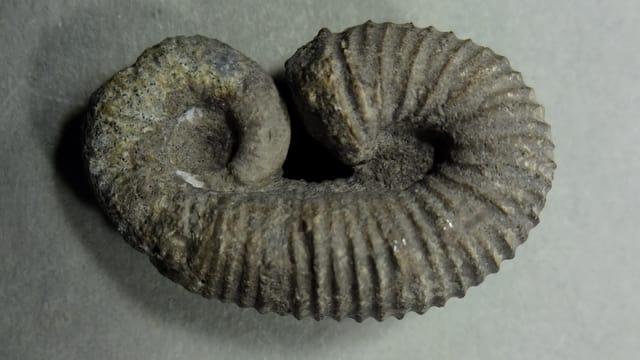 Fossil Eoscaphites kuersteineri