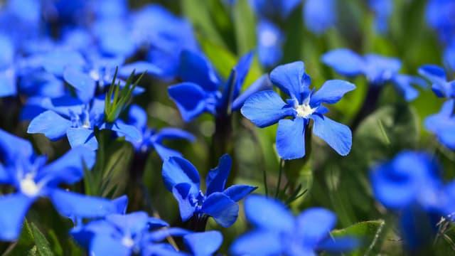 Blaue Enizane