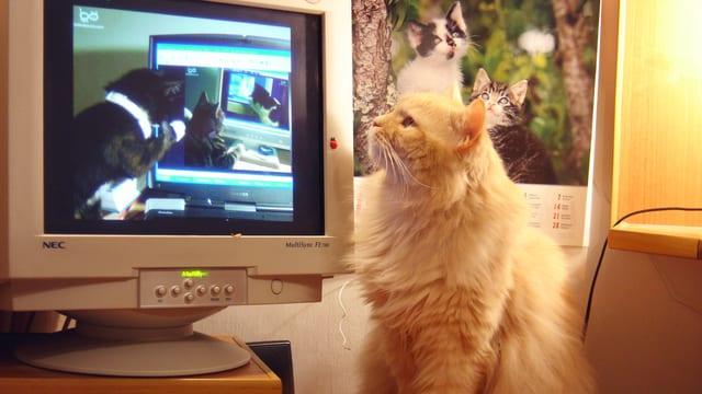 Eine Katze sitzt neben einem Computerbildschirm und sieht darin andere Katzen.