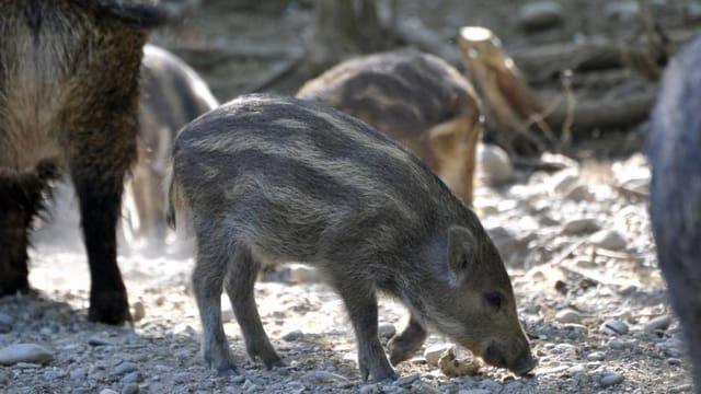 Kleine Wildschweine auf der Suche nach Futter