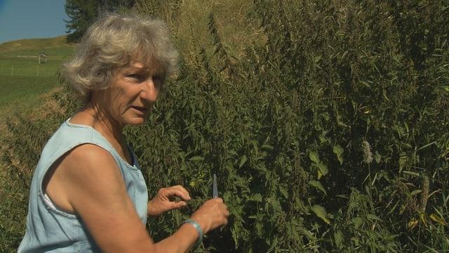 Gisula Tscharner taglia ervas selvadias sin in prà.