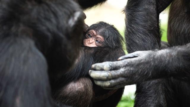 Schimpansen-Baby schmiegt sich an die Mutter.