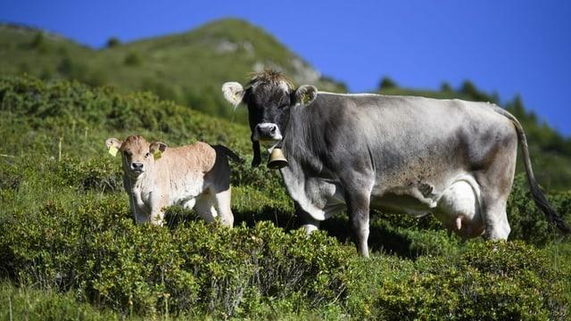 Zwei Kühe auf der Alp