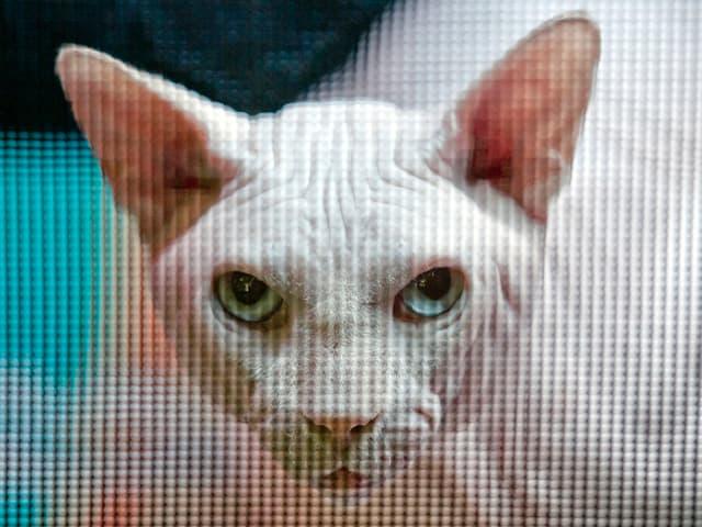 Eine Sphynx-Katze starrt direkt in die Kamera.