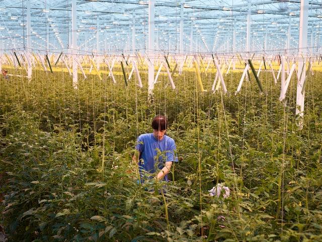 Ein Gärtnerin arbeitet in einem grossen Gewächshaus für Tomatenstauden. Unter dem Glasdach sind die Hängevorrichtungen für die Pflanzen sichtbar.