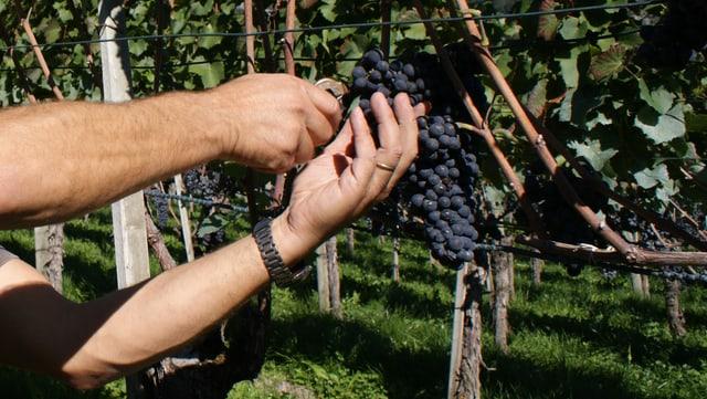 Las ivas da Blauburgunder, la pli impurtanta iva en il Grischun, ha cuntantschì 98 grads Oechsle.